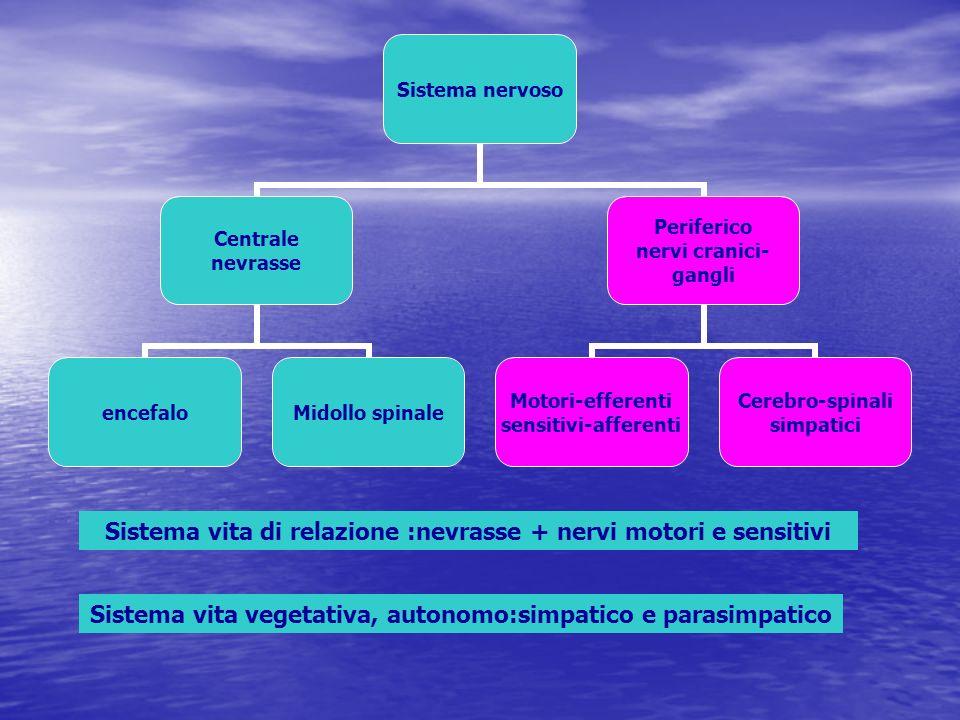 Sistema vita di relazione :nevrasse + nervi motori e sensitivi Sistema vita vegetativa, autonomo:simpatico e parasimpatico