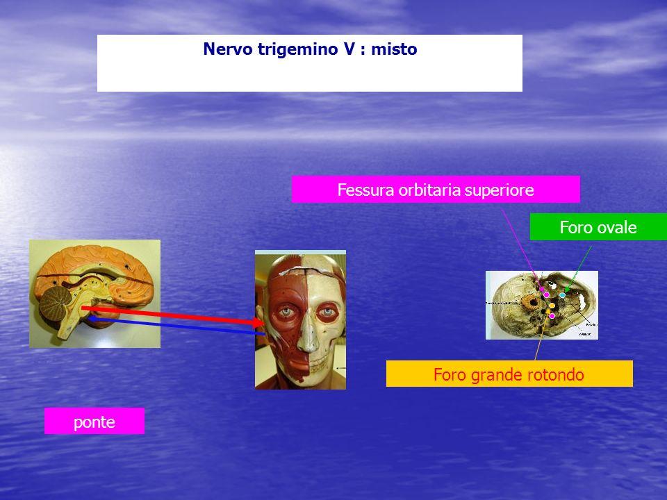 Nervo trigemino V : misto Fessura orbitaria superiore ponte Foro grande rotondo Foro ovale
