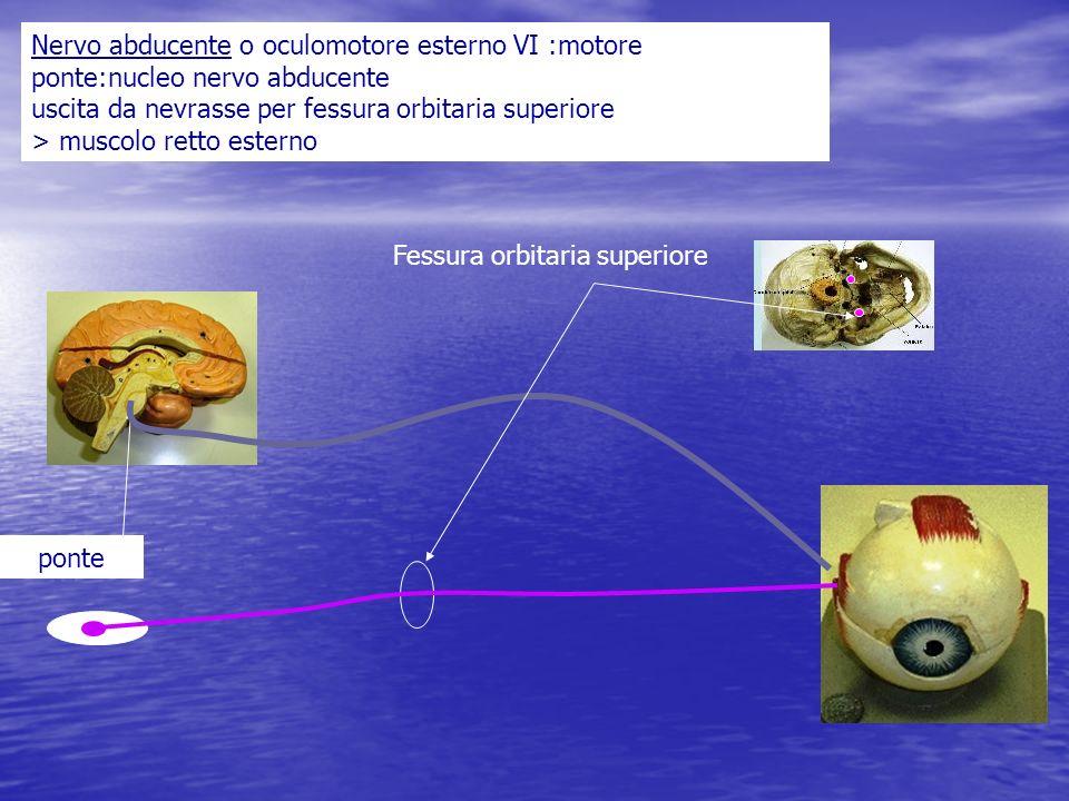 Nervo abducente o oculomotore esterno VI :motore ponte:nucleo nervo abducente uscita da nevrasse per fessura orbitaria superiore > muscolo retto ester