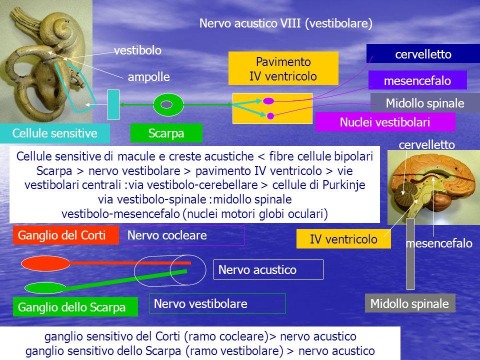 Nervo acustico VIII (vestibolare) ganglio sensitivo del Corti (ramo cocleare)> nervo acustico ganglio sensitivo dello Scarpa (ramo vestibolare) > nerv