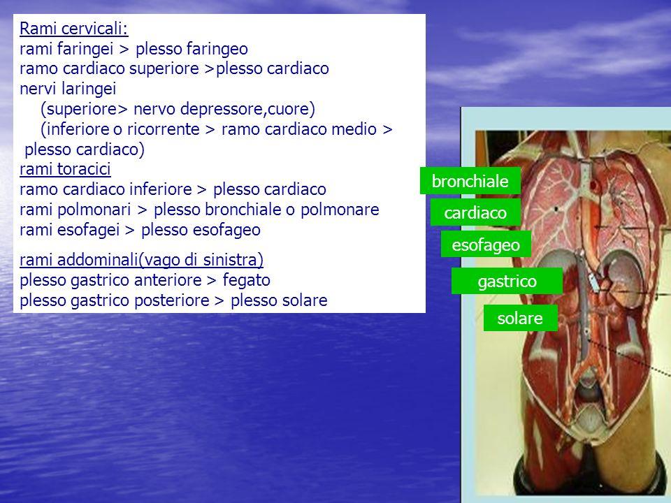 Rami cervicali: rami faringei > plesso faringeo ramo cardiaco superiore >plesso cardiaco nervi laringei (superiore> nervo depressore,cuore) (inferiore