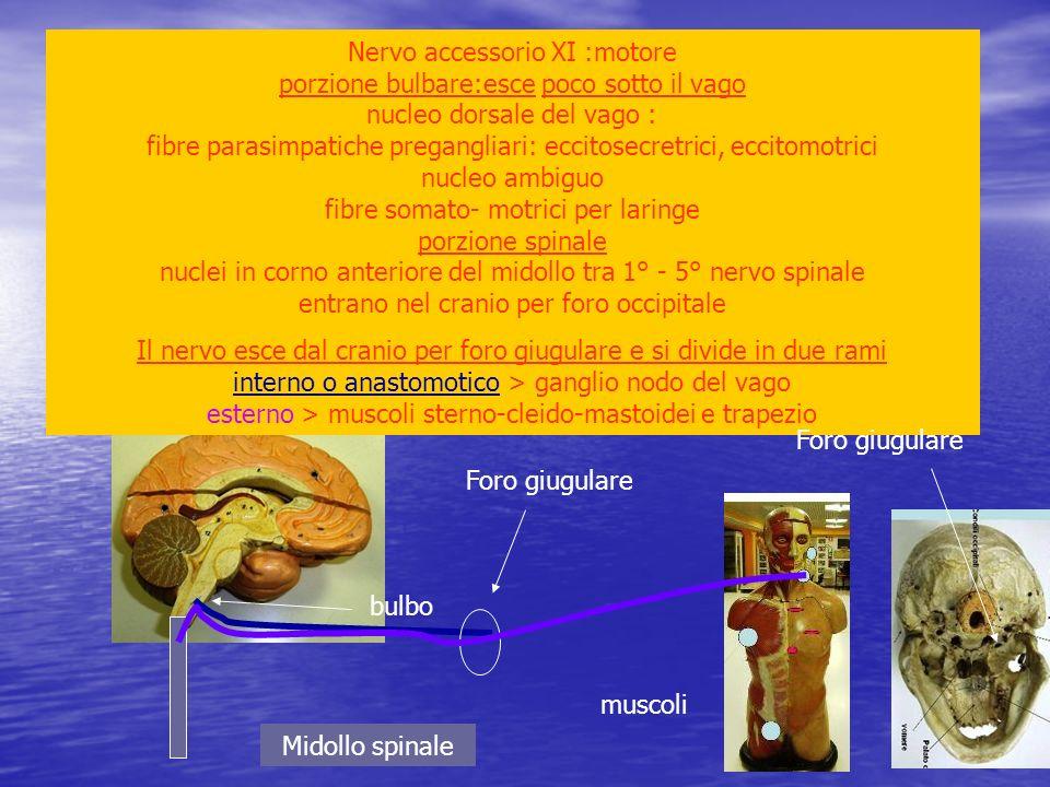 Nervo accessorio XI :motore porzione bulbare:esce poco sotto il vago nucleo dorsale del vago : fibre parasimpatiche pregangliari: eccitosecretrici, ec