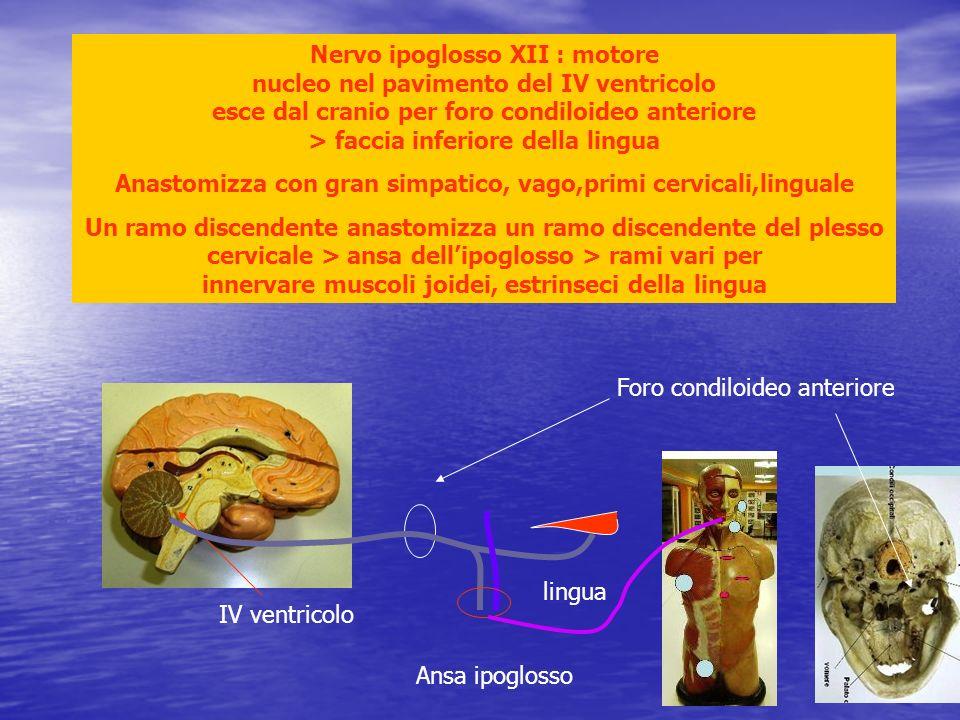 IV ventricolo Nervo ipoglosso XII : motore nucleo nel pavimento del IV ventricolo esce dal cranio per foro condiloideo anteriore > faccia inferiore de
