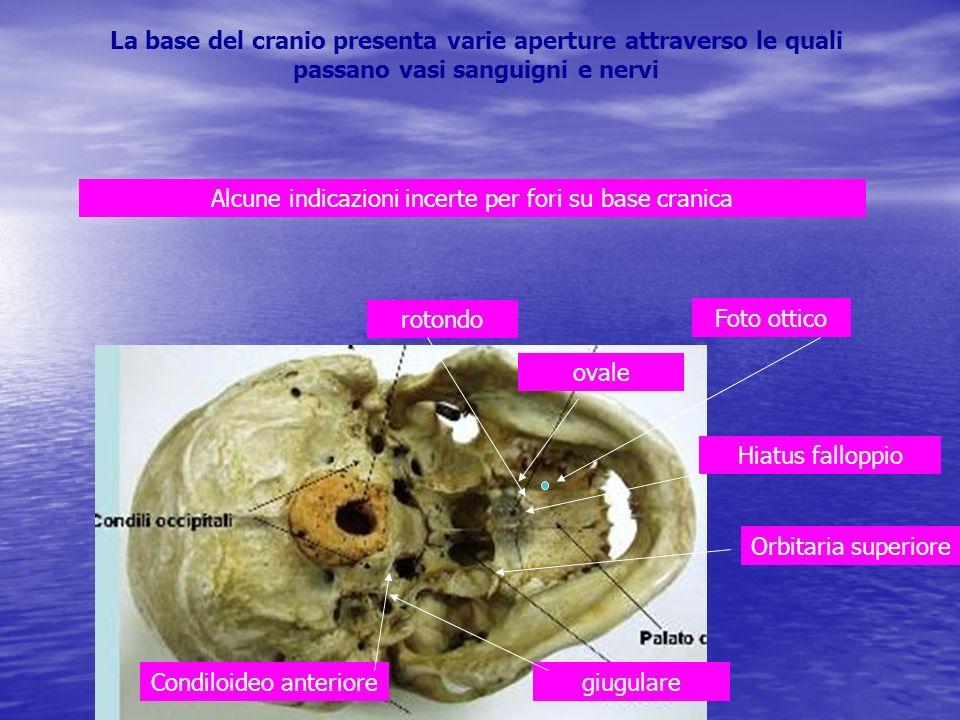 La base del cranio presenta varie aperture attraverso le quali passano vasi sanguigni e nervi giugulare Orbitaria superiore rotondo ovale Hiatus fallo