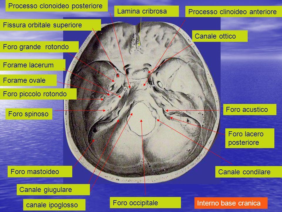 Foro occipitale Lamina cribrosa canale ipoglosso Canale giugulare Foro mastoideo Foro spinoso Forame ovale Forame lacerum Foro grande rotondo Fissura