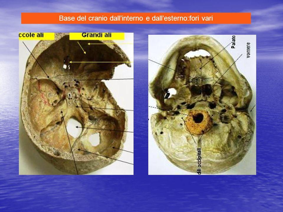Base del cranio dallinterno e dallesterno:fori vari