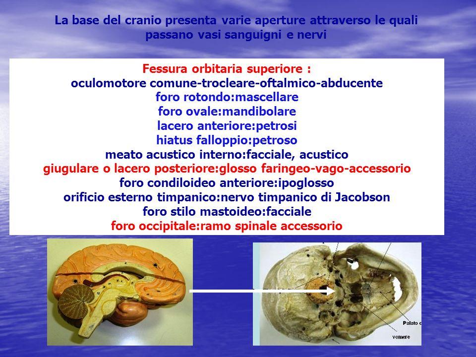 La base del cranio presenta varie aperture attraverso le quali passano vasi sanguigni e nervi Fessura orbitaria superiore : oculomotore comune-troclea