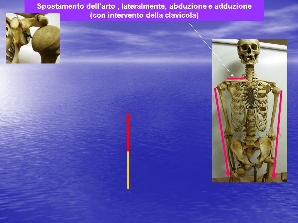 Spostamento dellarto, lateralmente, abduzione e adduzione (con intervento della clavicola)