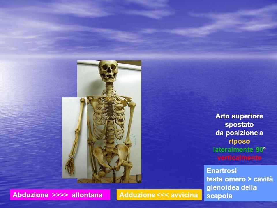Enartrosi testa omero > cavità glenoidea della scapola Arto superiore spostato da posizione a riposo lateralmente 90° verticalmente Abduzione >>>> all