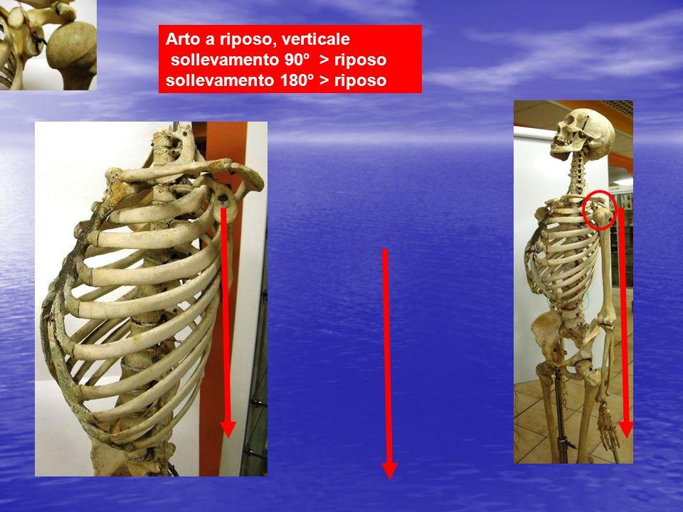 Arto a riposo, verticale sollevamento 90° > riposo sollevamento 180° > riposo