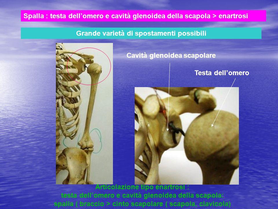 Spalla : testa dellomero e cavità glenoidea della scapola > enartrosi Grande varietà di spostamenti possibili Cavità glenoidea scapolare Testa dellome