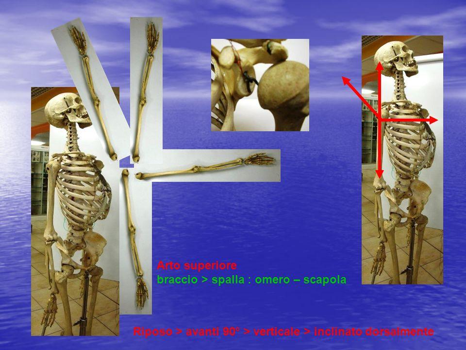Arto superiore braccio > spalla : omero – scapola Riposo > avanti 90° > verticale > inclinato dorsalmente