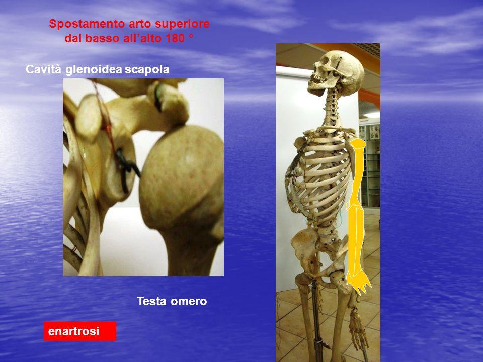 Spostamento arto superiore dal basso allalto 180 ° enartrosi Testa omero Cavità glenoidea scapola