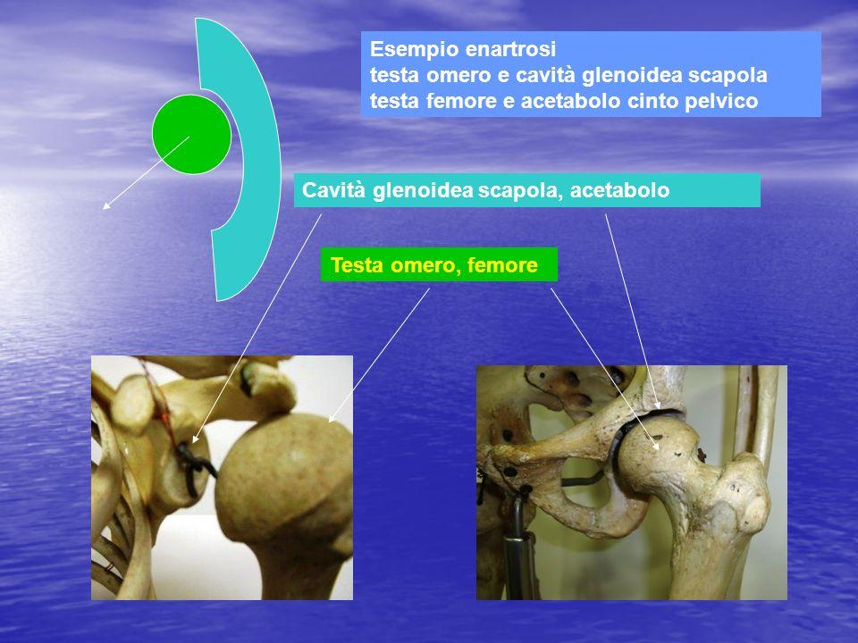 Esempio enartrosi testa omero e cavità glenoidea scapola testa femore e acetabolo cinto pelvico Cavità glenoidea scapola, acetabolo Testa omero, femor