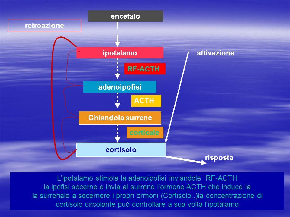 ipotalamo adenoipofisi Ghiandola surrene cortisolo attivazione risposta retroazione encefalo Lipotalamo stimola la adenoipofisi inviandole RF-ACTH la