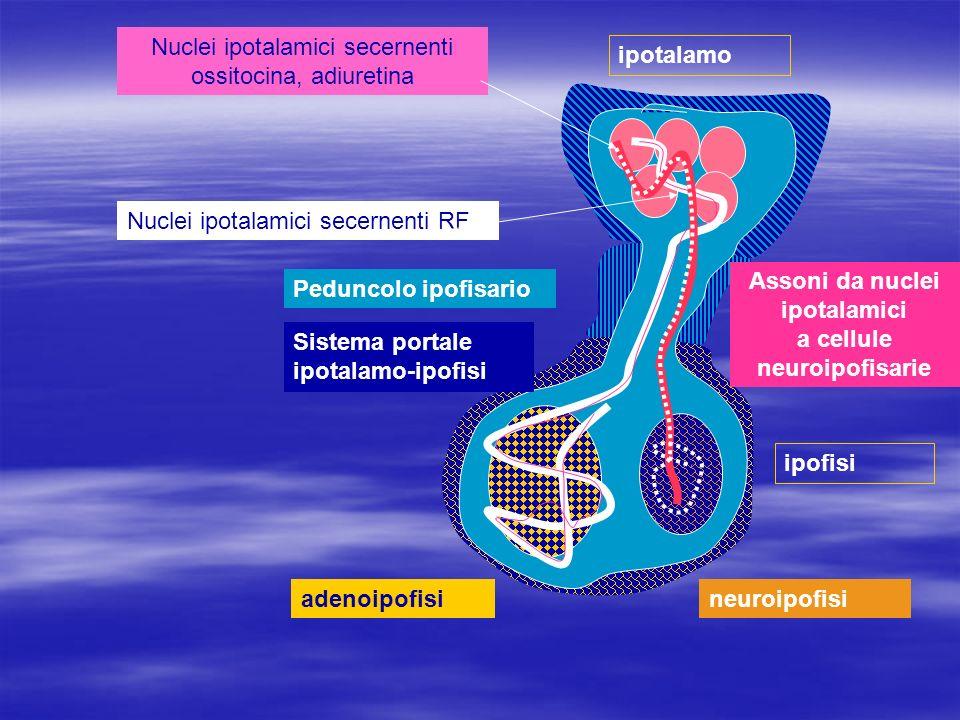 ipotalamo Peduncolo ipofisario adenoipofisineuroipofisi Sistema portale ipotalamo-ipofisi ipofisi Assoni da nuclei ipotalamici a cellule neuroipofisar