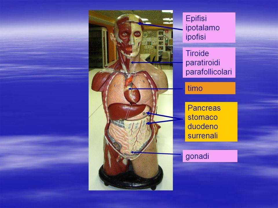 Epifisi ipotalamo ipofisi Tiroide paratiroidi parafollicolari timo Pancreas stomaco duodeno surrenali gonadi