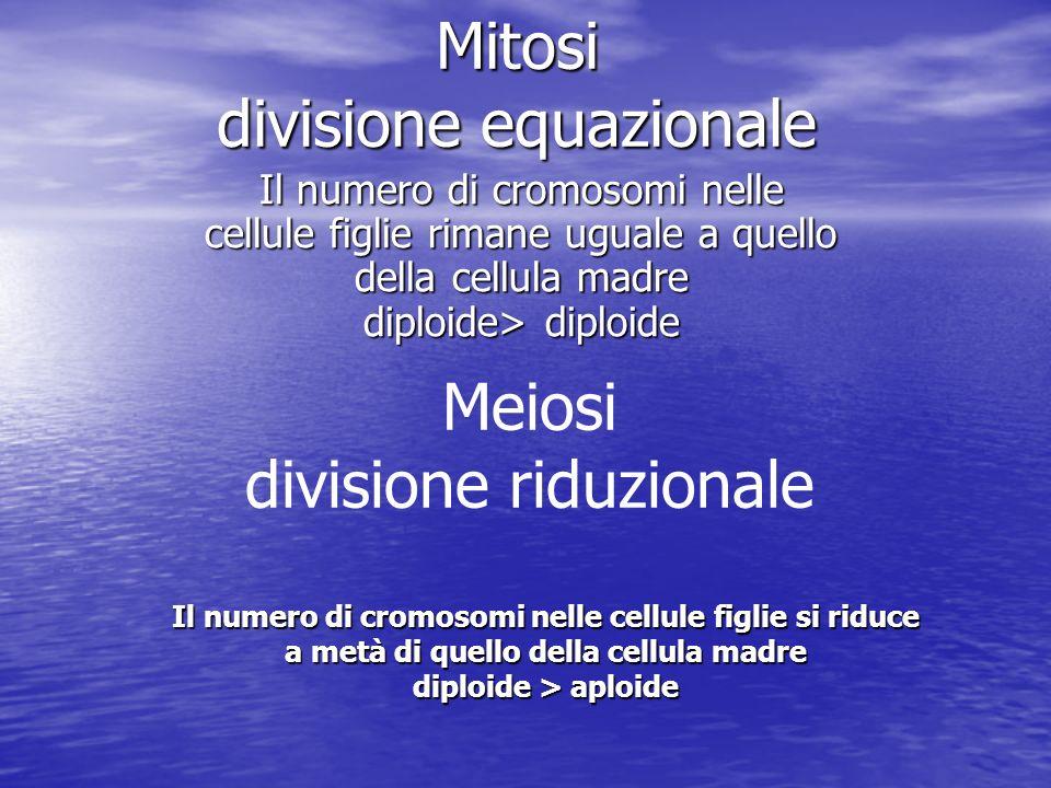 Mitosi divisione equazionale Il numero di cromosomi nelle cellule figlie rimane uguale a quello della cellula madre diploide> diploide Meiosi division