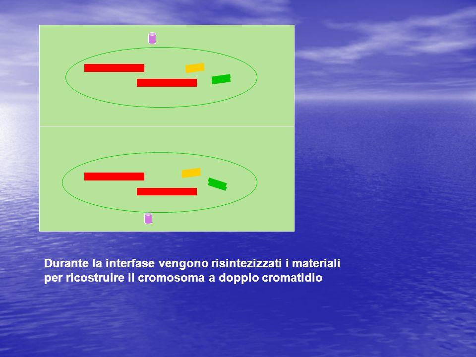 Durante la interfase vengono risintezizzati i materiali per ricostruire il cromosoma a doppio cromatidio
