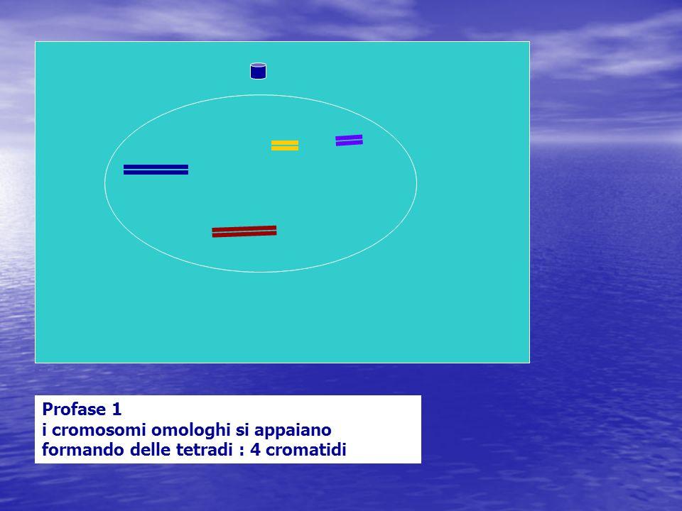 Profase 1 i cromosomi omologhi si appaiano formando delle tetradi : 4 cromatidi
