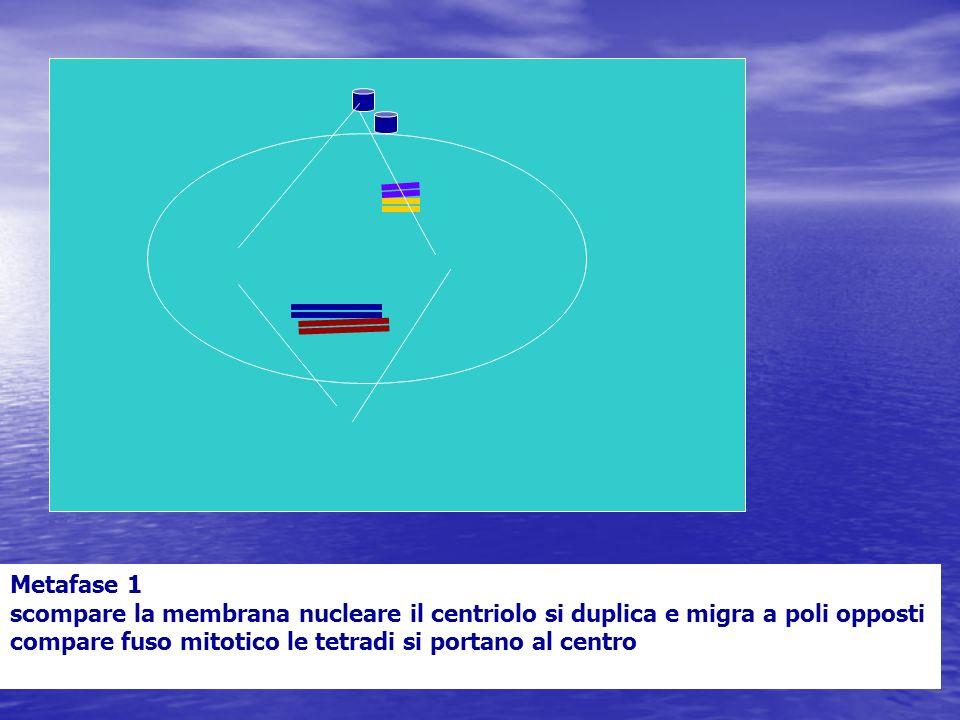Metafase 1 scompare la membrana nucleare il centriolo si duplica e migra a poli opposti compare fuso mitotico le tetradi si portano al centro