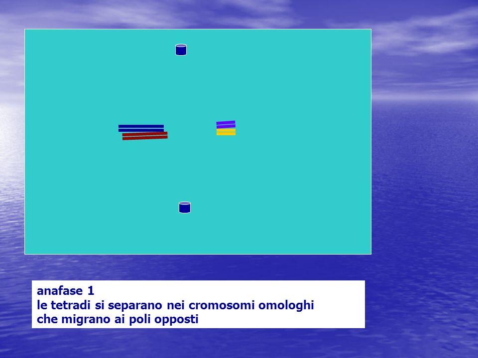 anafase 1 le tetradi si separano nei cromosomi omologhi che migrano ai poli opposti