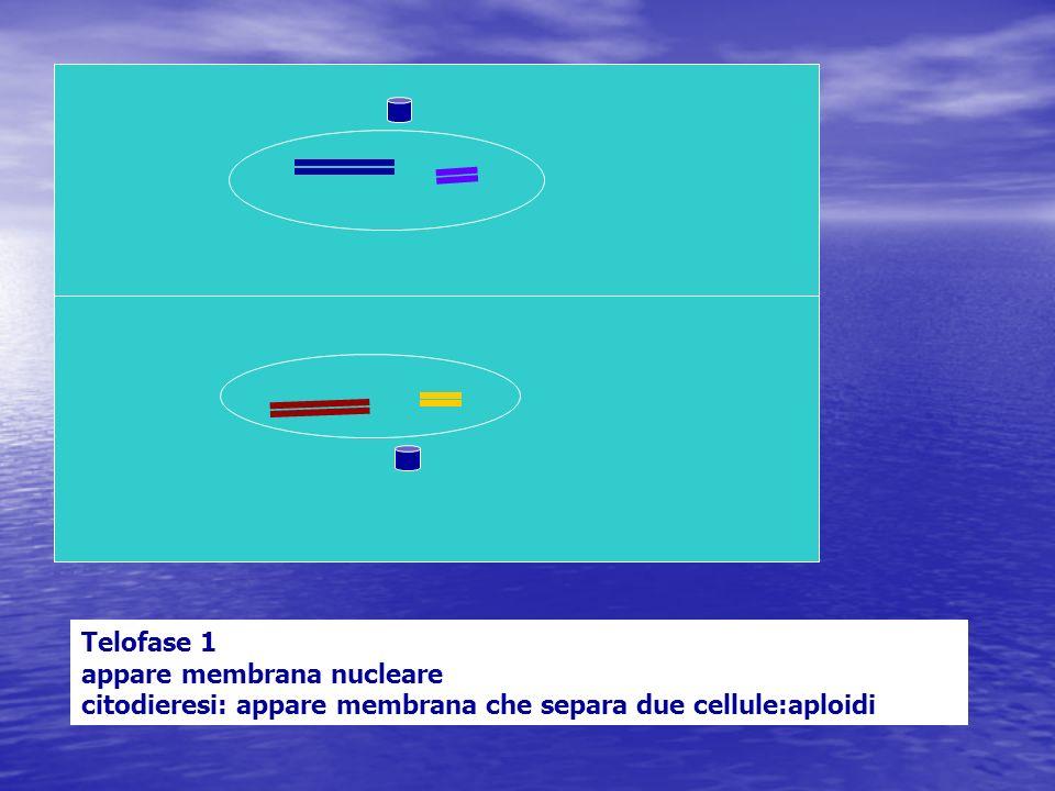 Telofase 1 appare membrana nucleare citodieresi: appare membrana che separa due cellule:aploidi