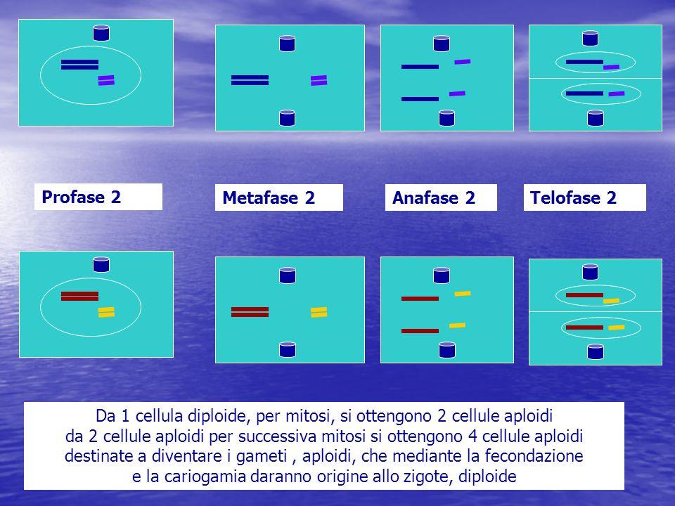 Profase 2 Metafase 2Anafase 2Telofase 2 Da 1 cellula diploide, per mitosi, si ottengono 2 cellule aploidi da 2 cellule aploidi per successiva mitosi s