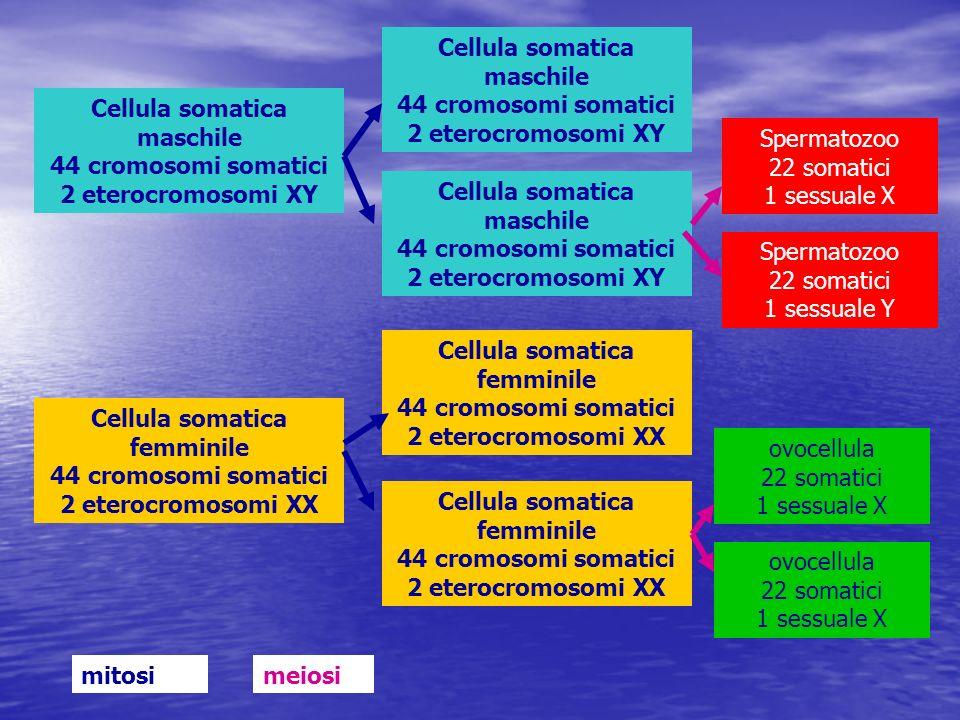 Cellula somatica maschile 44 cromosomi somatici 2 eterocromosomi XY Cellula somatica femminile 44 cromosomi somatici 2 eterocromosomi XX Cellula somat