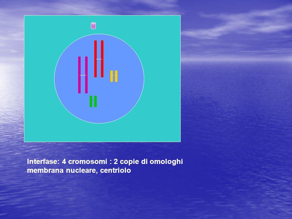 Interfase: 4 cromosomi : 2 copie di omologhi membrana nucleare, centriolo