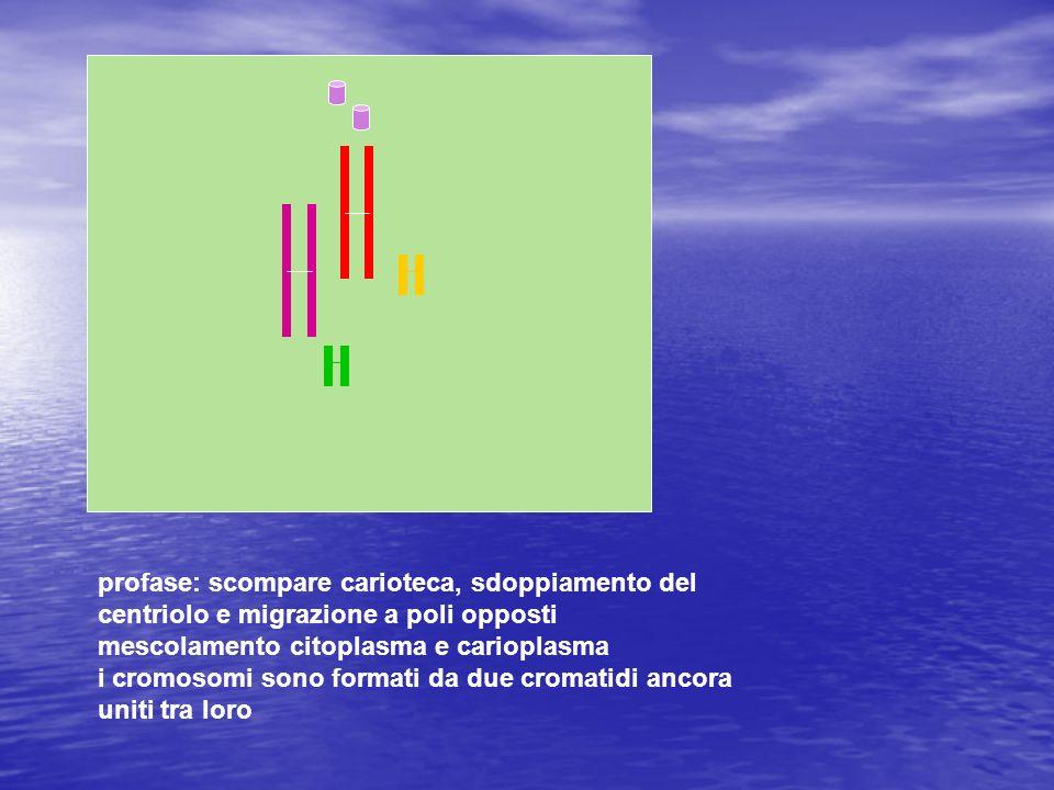profase: scompare carioteca, sdoppiamento del centriolo e migrazione a poli opposti mescolamento citoplasma e carioplasma i cromosomi sono formati da
