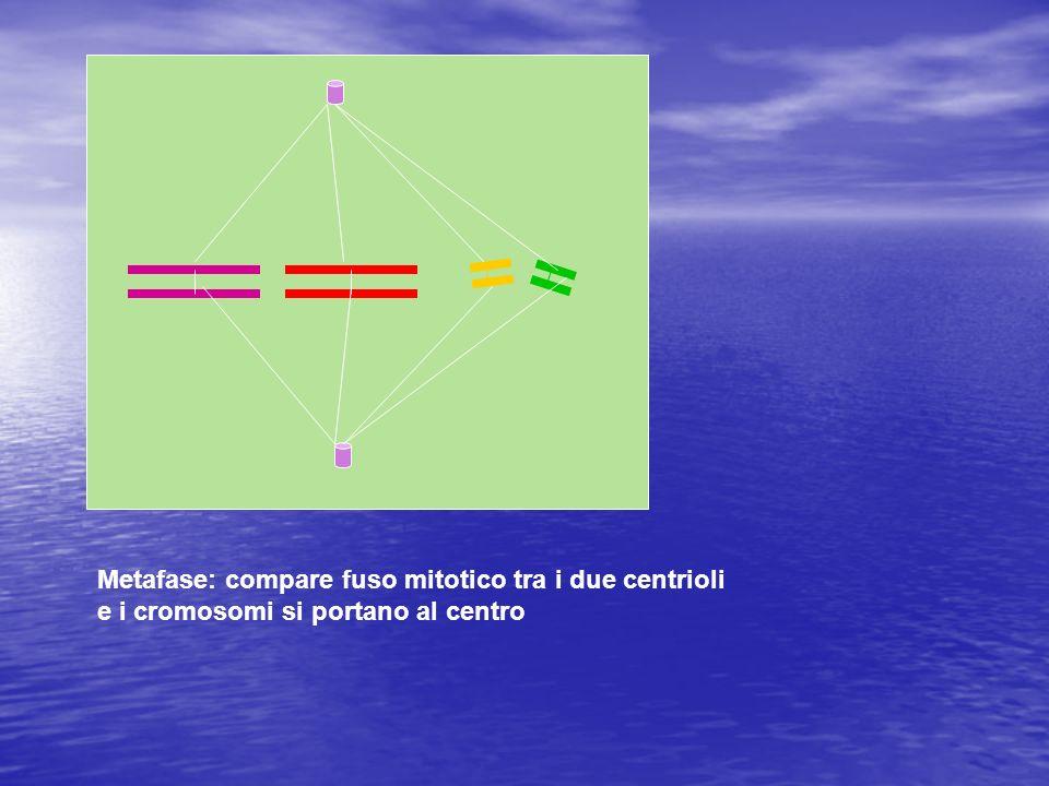 Metafase: compare fuso mitotico tra i due centrioli e i cromosomi si portano al centro