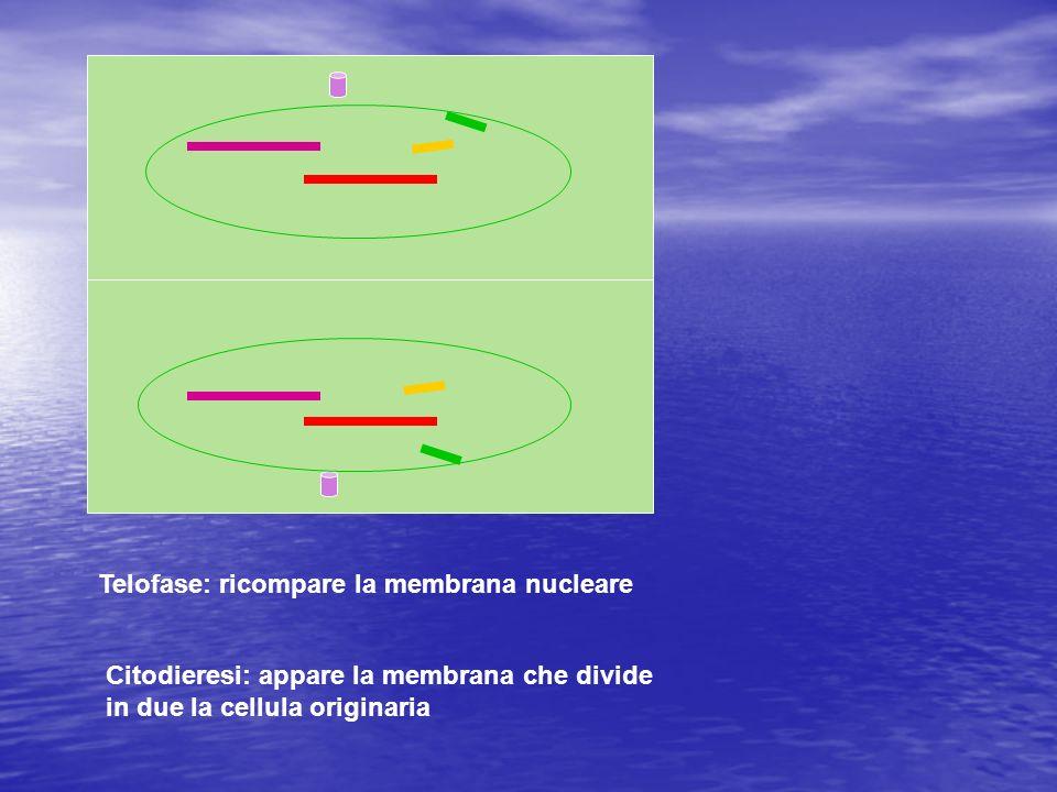 Telofase: ricompare la membrana nucleare Citodieresi: appare la membrana che divide in due la cellula originaria