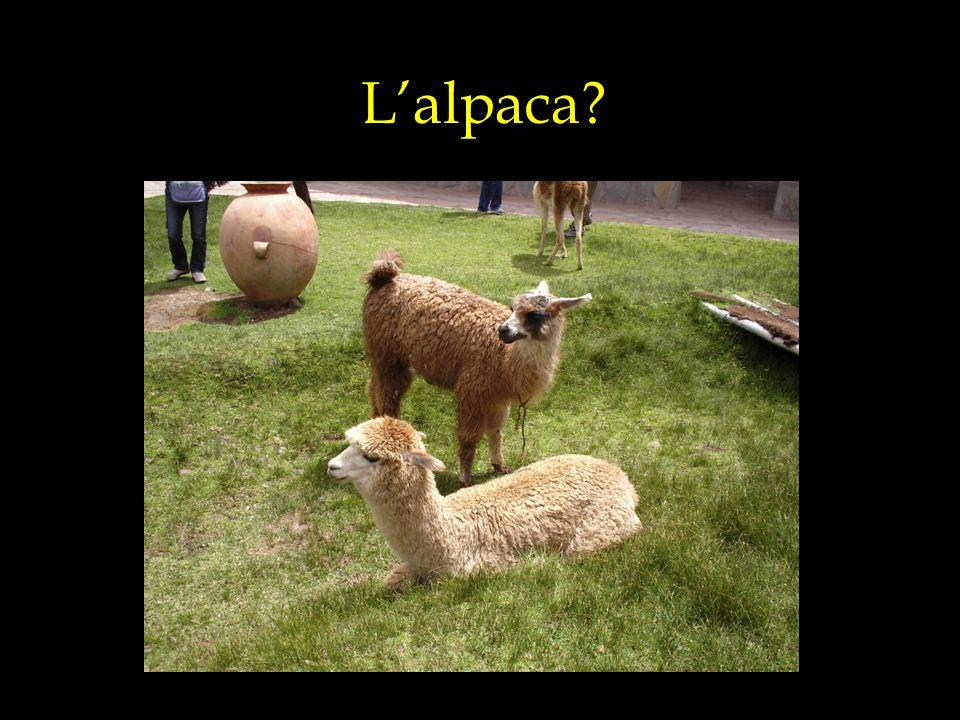 Il lama?