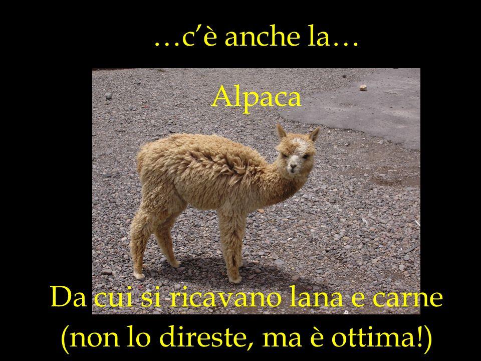 …cè anche la… Da cui si ricavano lana e carne Alpaca (non lo direste, ma è ottima!)