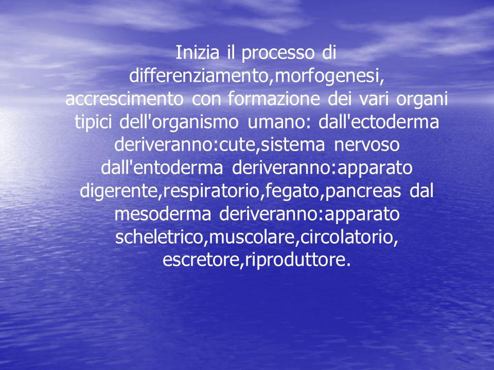 Inizia il processo di differenziamento,morfogenesi, accrescimento con formazione dei vari organi tipici dell'organismo umano: dall'ectoderma deriveran