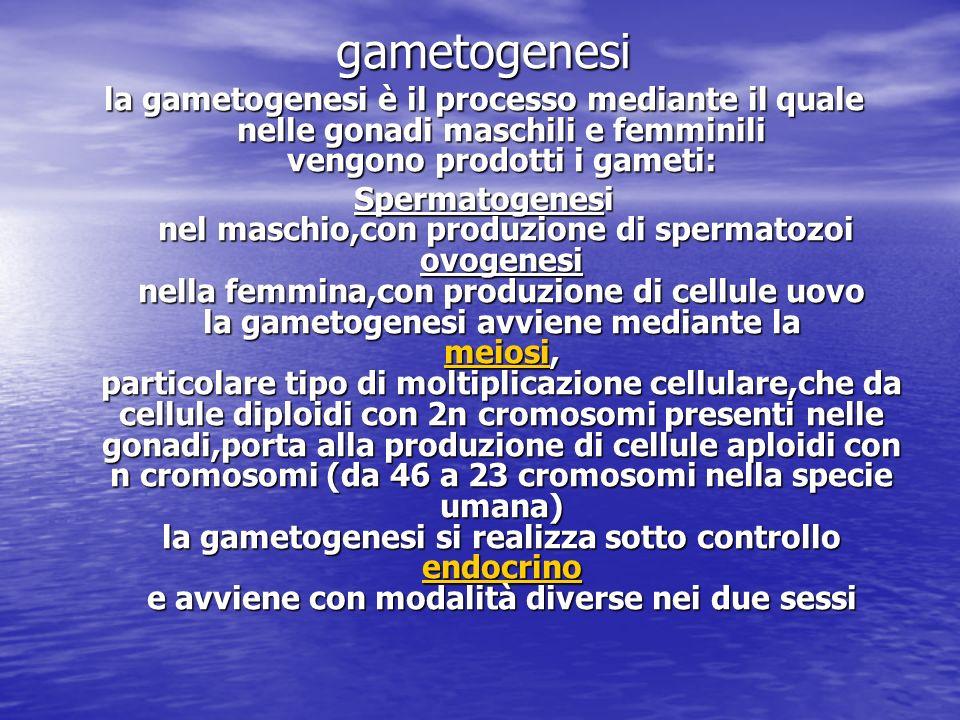 gametogenesi la gametogenesi è il processo mediante il quale nelle gonadi maschili e femminili vengono prodotti i gameti: Spermatogenesi nel maschio,c