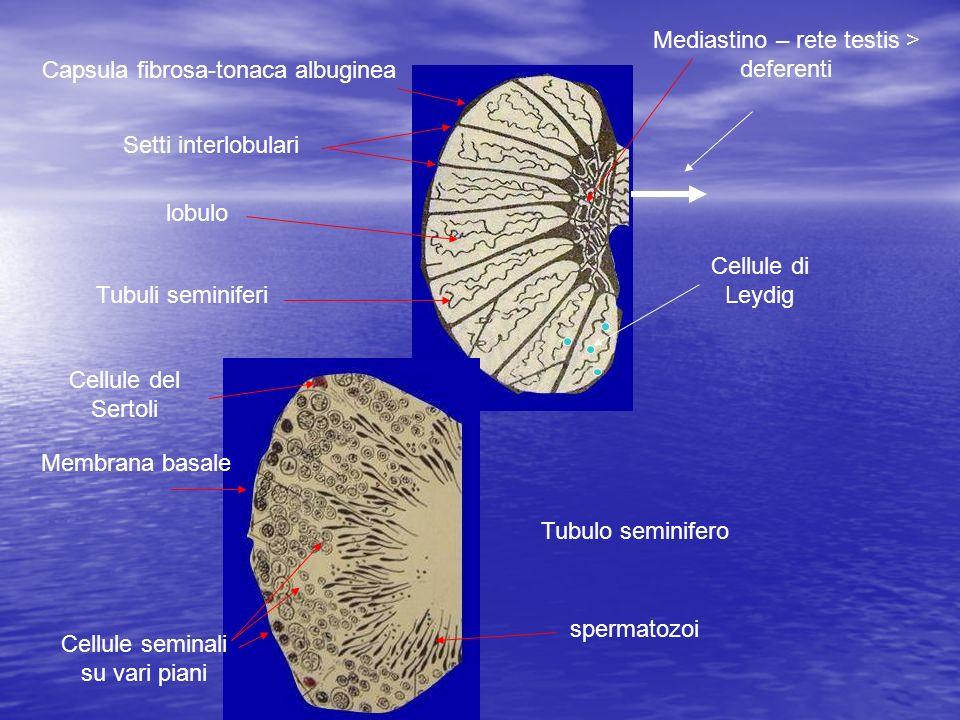 Capsula fibrosa-tonaca albuginea Setti interlobulari lobulo Tubuli seminiferi Mediastino – rete testis > deferenti Tubulo seminifero Membrana basale C