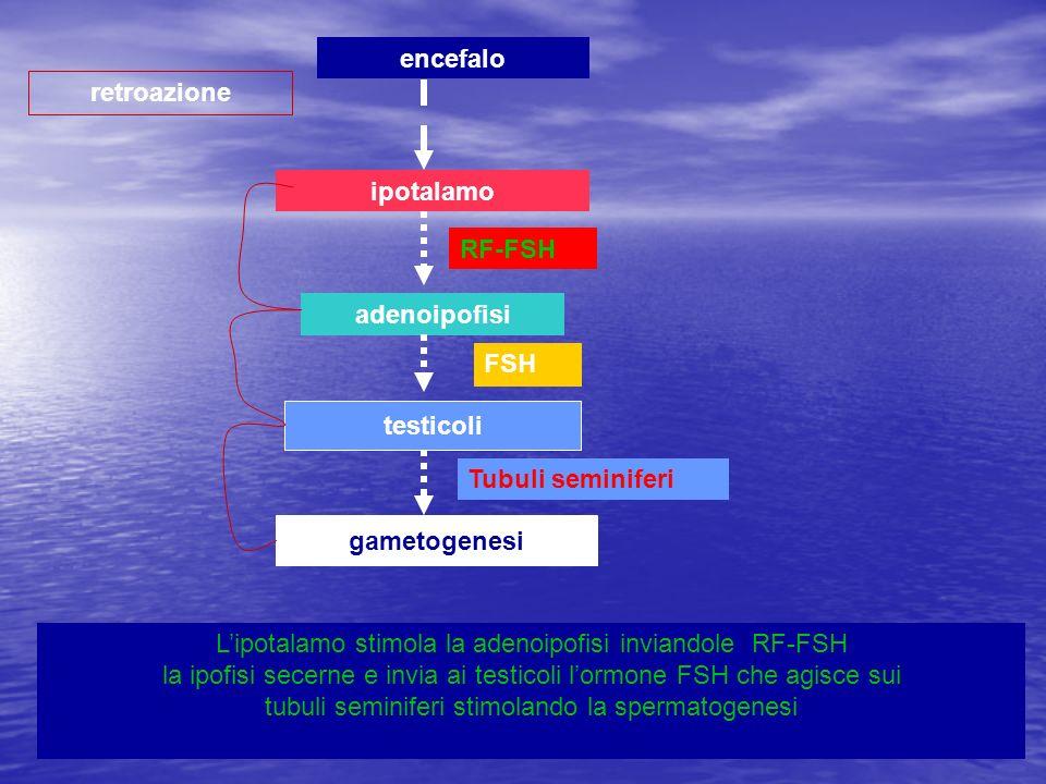 ipotalamo adenoipofisi testicoli gametogenesi retroazione encefalo Lipotalamo stimola la adenoipofisi inviandole RF-FSH la ipofisi secerne e invia ai
