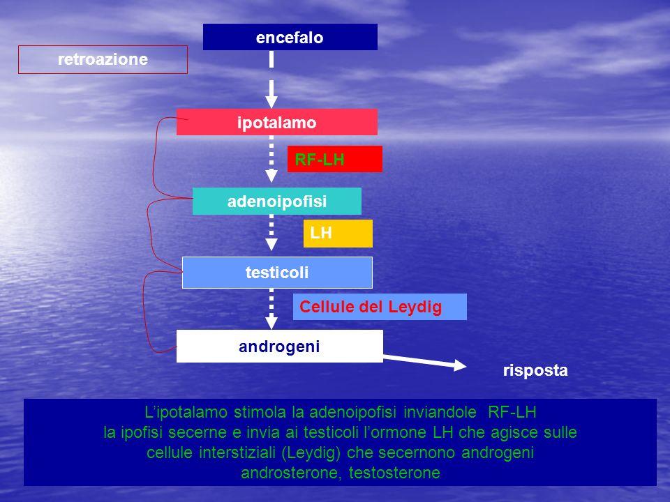 ipotalamo adenoipofisi testicoli androgeni retroazione encefalo Lipotalamo stimola la adenoipofisi inviandole RF-LH la ipofisi secerne e invia ai test