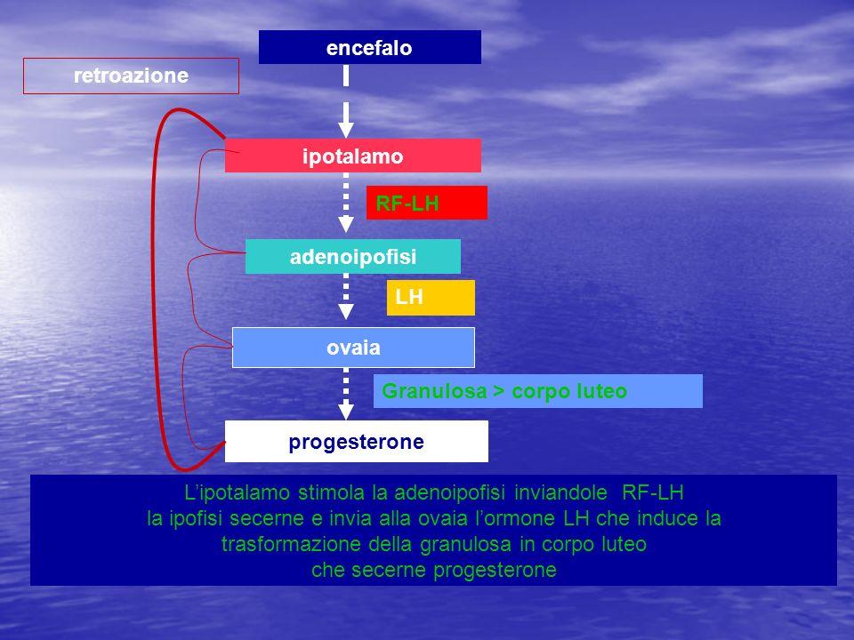ipotalamo adenoipofisi ovaia progesterone retroazione encefalo Lipotalamo stimola la adenoipofisi inviandole RF-LH la ipofisi secerne e invia alla ova