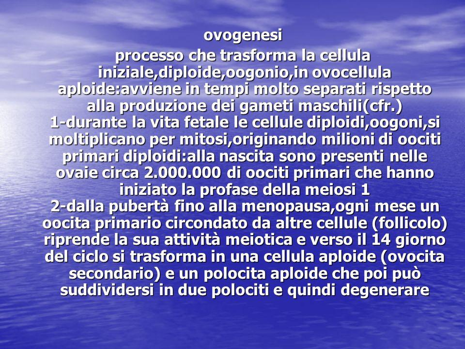 ovogenesi ovogenesi processo che trasforma la cellula iniziale,diploide,oogonio,in ovocellula aploide:avviene in tempi molto separati rispetto alla pr