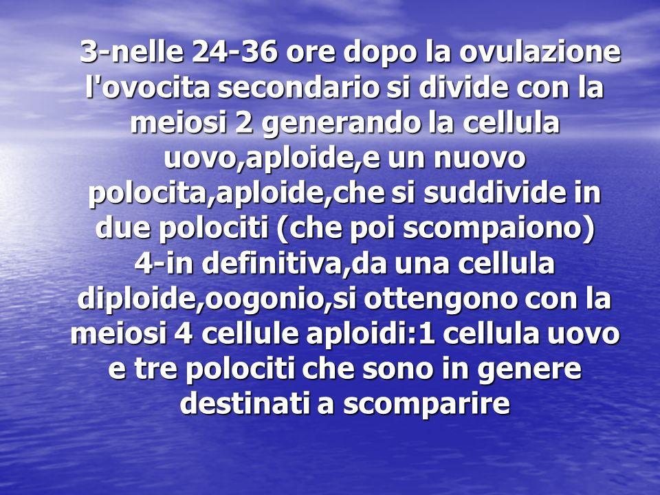 3-nelle 24-36 ore dopo la ovulazione l'ovocita secondario si divide con la meiosi 2 generando la cellula uovo,aploide,e un nuovo polocita,aploide,che