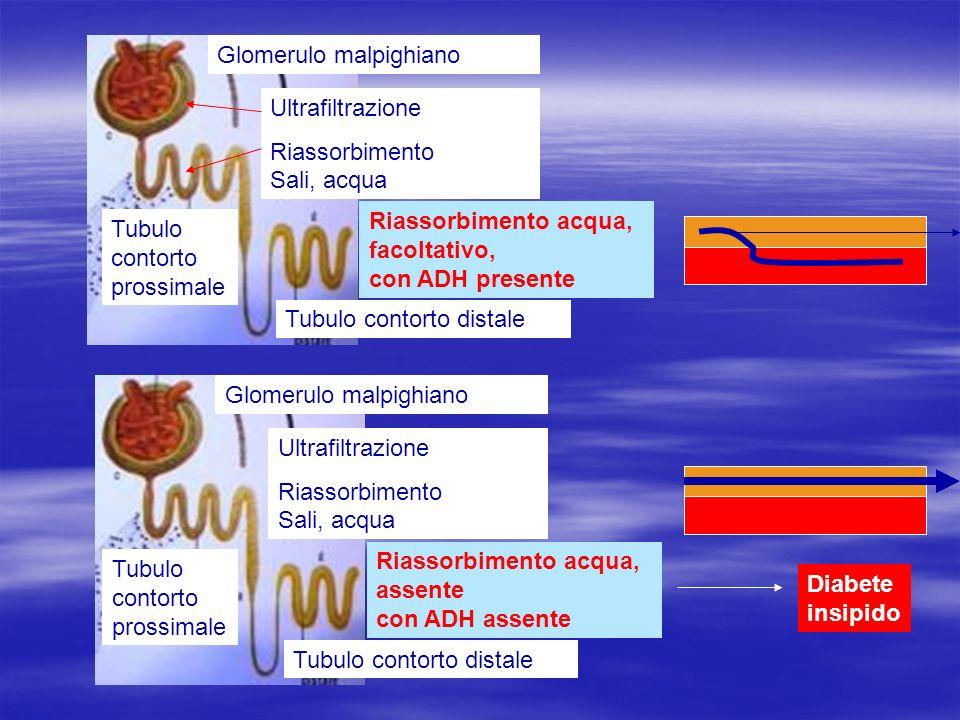 Tubulo contorto prossimale Tubulo contorto distale Glomerulo malpighiano Ultrafiltrazione Riassorbimento Sali, acqua Riassorbimento acqua, facoltativo