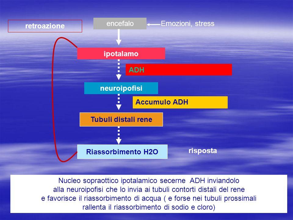 ipotalamo neuroipofisi Tubuli distali rene Riassorbimento H2O risposta retroazione Nucleo sopraottico ipotalamico secerne ADH inviandolo alla neuroipo