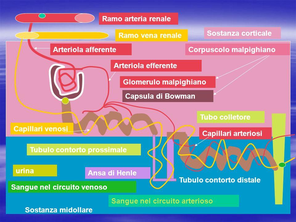 Ramo arteria renale Ramo vena renale Arteriola afferente Arteriola efferente Glomerulo malpighiano Capsula di Bowman Tubo colletore Tubulo contorto di