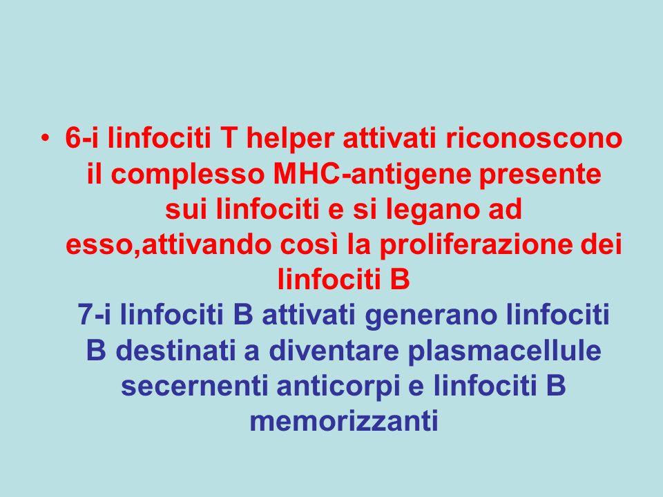 6-i linfociti T helper attivati riconoscono il complesso MHC-antigene presente sui linfociti e si legano ad esso,attivando così la proliferazione dei