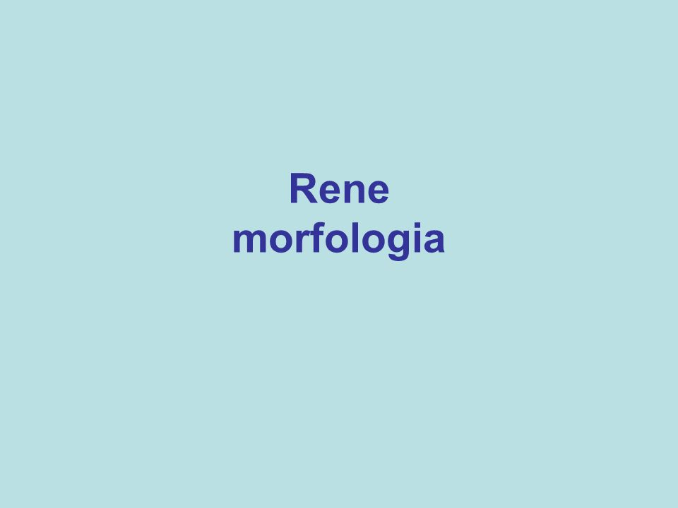 Rene morfologia