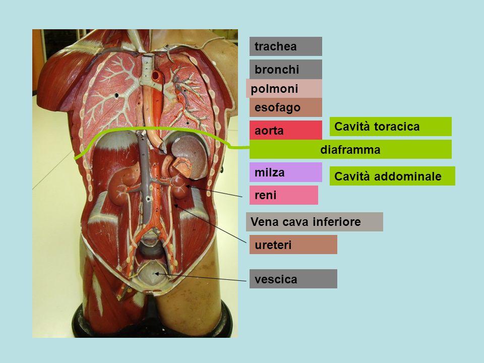 milza polmoni aorta esofago Vena cava inferiore bronchi trachea diaframma Cavità toracica Cavità addominale reni ureteri vescica