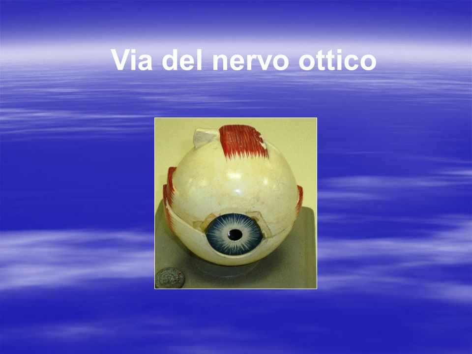 Dai coni e bastoncelli della retina limpulso passa alle cellule bipolari e da queste alle cellule gangliari iniziano i due nervi ottici : le fibre provenienti dalle parti interne,nasali, si incrociano formando il chiasma ottico quelle delle zone esterne non si incrociano tutte le fibre incrociatesi e parte di quelle non incrociatesi entrano in sinapsi a livello dei corpi genicolati mediali (talamo) e proseguono come radiazioni ottiche del Gratiolet fino alle aree della visione nel lobo occipitale parte delle fibre non incrociatesi raggiungono i tubercoli quadrigemini superiori(mesencefalo) ove entrano in sinapsi: proseguono fino ai nuclei motori nel ponte-bulbo-midollo spinale per attivare nervi trocleare, adducente, facciale, oculomotore comune